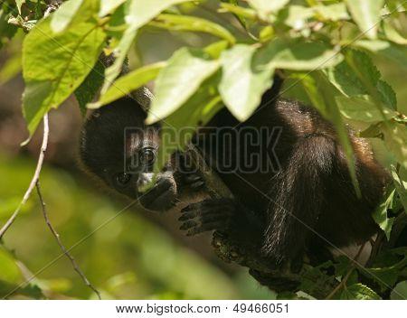 Baby mantled howler monkey (Alouatta palliata)