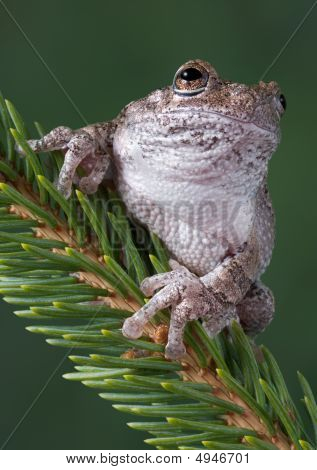 A gray tree frog is sitting on a pine branch. poster