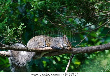 A Squirrel's Naptime