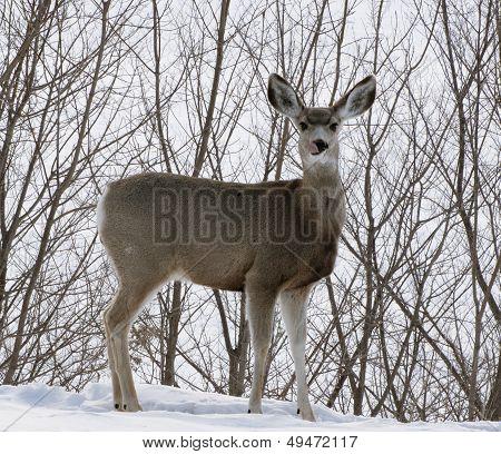 Deer Tongue