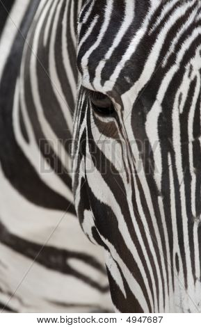 Grevys Zebra Face Close Up Abstract