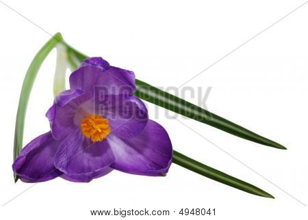Purple crocus flower isolated on white background poster