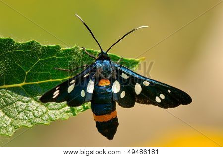 butterfly outdoor (amata fabricius)