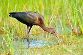 glossy ibis (plegadis falcinellus) poster