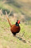 male pheasant closeup with vibrant colors (phasianus) poster