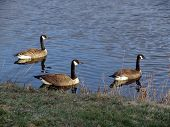 Three Geese head out towards the center of the Nashawannuck Pond in early spring, Easthampton, Massachusetts poster