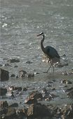 great blue heron at the river poster