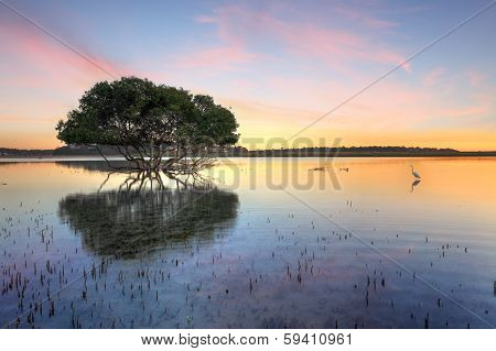 Mangrove Tree And White Egret