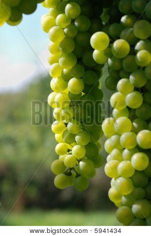 Wine Grape In Sunlight