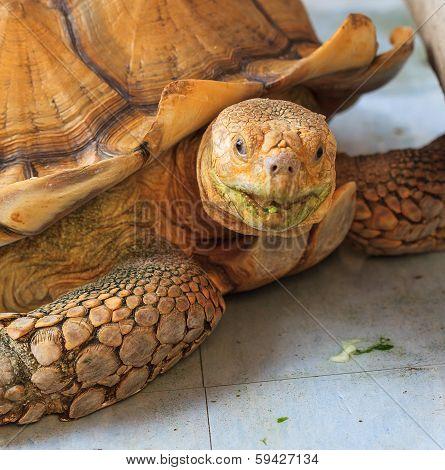 Tortoise Golden Close Up