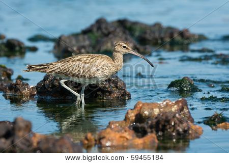 Whimbrel Wading Through Tide Pools.