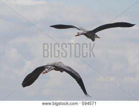 Double Heron Take Off