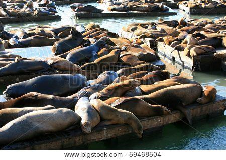 Genuine Wild California sea lions AKA Zalophus californianus Lounge in the sun on docks in the harbor of Pier 39 in San Francisco California. The San Francisco Sea Lions are a Tourist Attraction