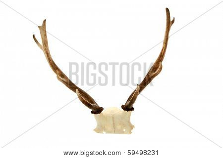 Genuine Real Live Deer Antlers AKA Horns still attached to a part of the Deer Skull. Isolated on white with room for your text. The Perfect Deer Antler aka Deer Horn image for all your needs.