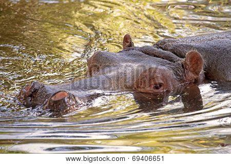 Hippopotamus In Water, Its Natural Habitat