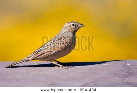 Lark-like Bunting sitting in sunshine with a yellow background poster