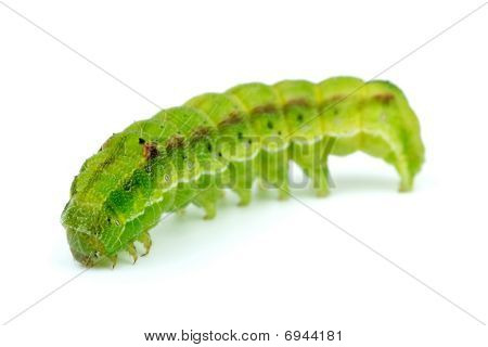 Green caterpillar isolated on the white background. Shallow DOF. Focus point - worm's head poster