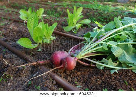Vegtable garden - Radish and Lettuce