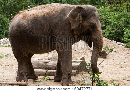 Grey Asian Elephant