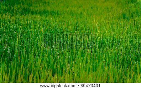 Green Rice Field In Se Asia