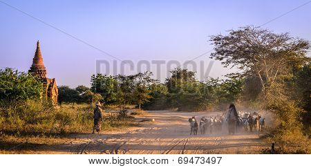 Herd of goats near the temples of Bagan, Myanmar