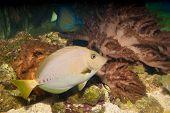 Razor Surgeonfish Fish  (Prionurus laticlavius) in Aquarium poster