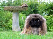 Cute Pekinese breed of show dog poster