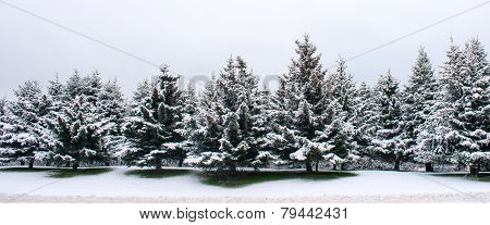 Stand Of Sitka Spruce