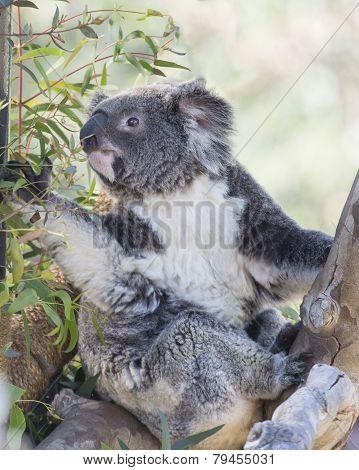 Koala Bear sitting