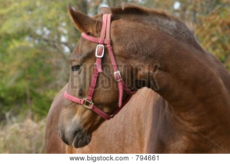 Horse with red bridle
