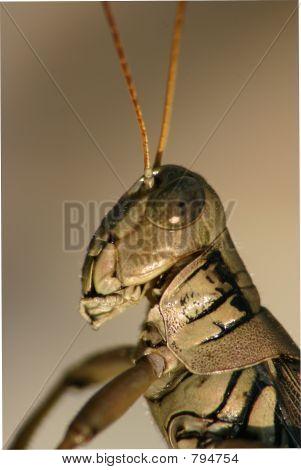 Grasshopper profile