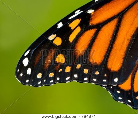 Wing of a monarch butterfly. poster