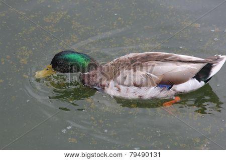 Mallard Duck-Drake