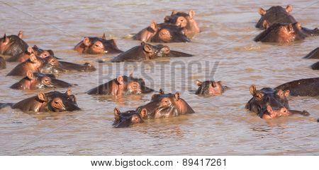 Hippos, Mara River, Tanzania