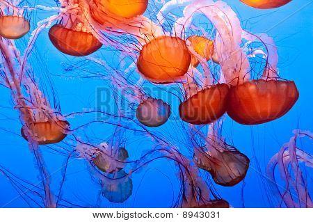 Pacific Sea Nettle