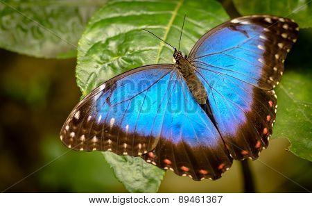 Morpho Peleides - Blue Morpho