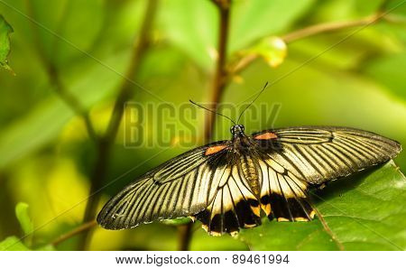 Papilio Memnon - Great Mormon, Female