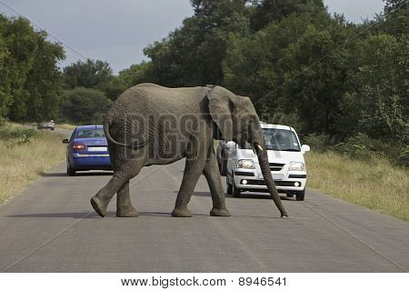 African Elephant crossing the road