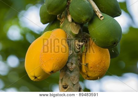 Yellow And Green Mango Fruits Hanging From The Tree