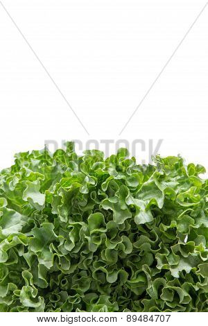 Vertical Bottom Border Of Freshly Harvested Fresh Lettuce