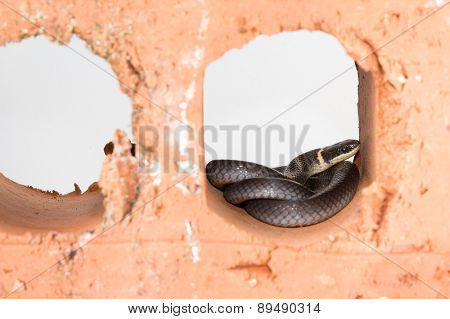 Shy Ring Neck Snake