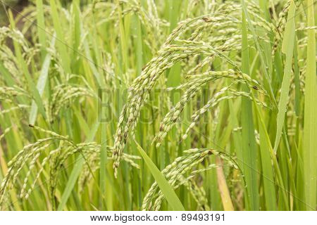Close Up Spikelet Of Rice