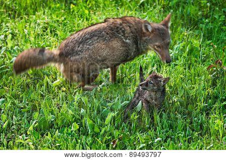 Adult Coyote (canis Latrans) Runs Circles Around Pup
