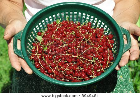 Basket of redcurrant