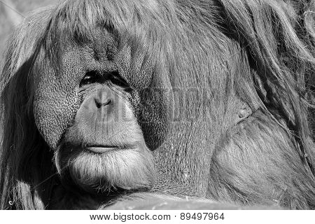 The orangutans