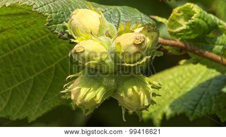 Hazelnuts On A Hazel Tree (corylus)