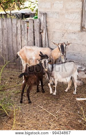 Goats In The Farmyard In The Paddock