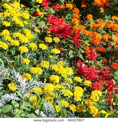 Yellow, Orange, Red Dianthus Flowers On Flowerbed