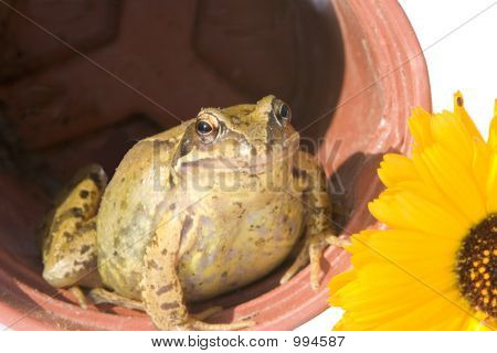 Potted Frog