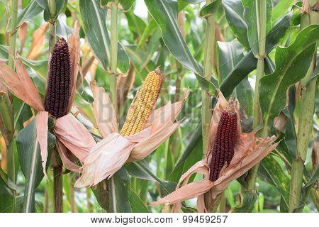 Part Of Corn Plants